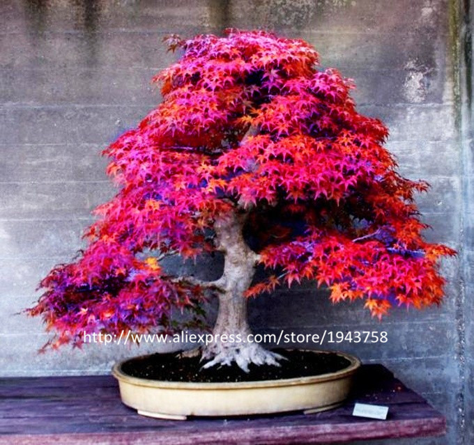 Japanese Maple Bonsai Tree For Sale Bonsai Tree
