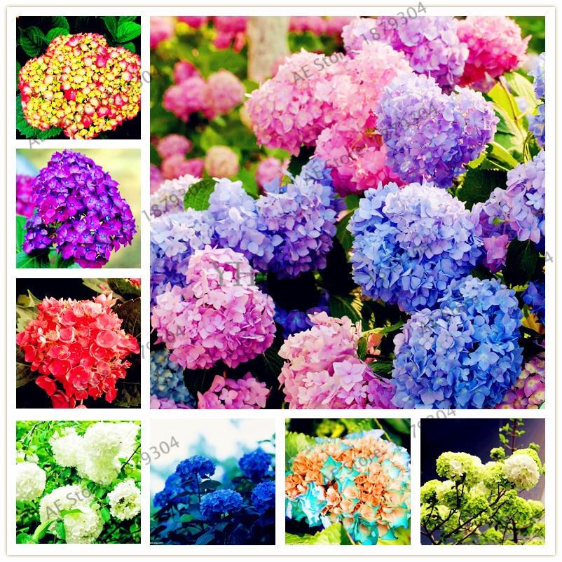Promotion Hot Sale Hydrangea 300PCS Mixed Hydrangea Seeds Flowers Garden Plant Bonsai Viburnum macrocephalum Fort
