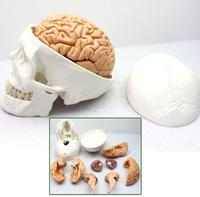 Skull model skull model of human head and skull 1:1: cranial anatomy department of neurology