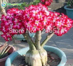 Free shipping Rose Can Absorption of formaldehyde Colorful Bonsai Desert Rose Flower Seeds 2 pcs Mix Seeds ...