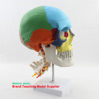 Human skeleton head colored skull with cervical vertebra model skull partition muscle model neurobiology anatomy model