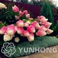 20 unids/pack Hortensia paniculata planta de fresa de vainilla Naturia Hortensia macroshylla casa jardín flor blanca Bonsai planta