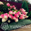 20 sztuk/paczka hortensja paniculata Vanilla Strawberry roślin Naturia hortensja Macrophylla domu ogród kwiat biały Bonsai roślin