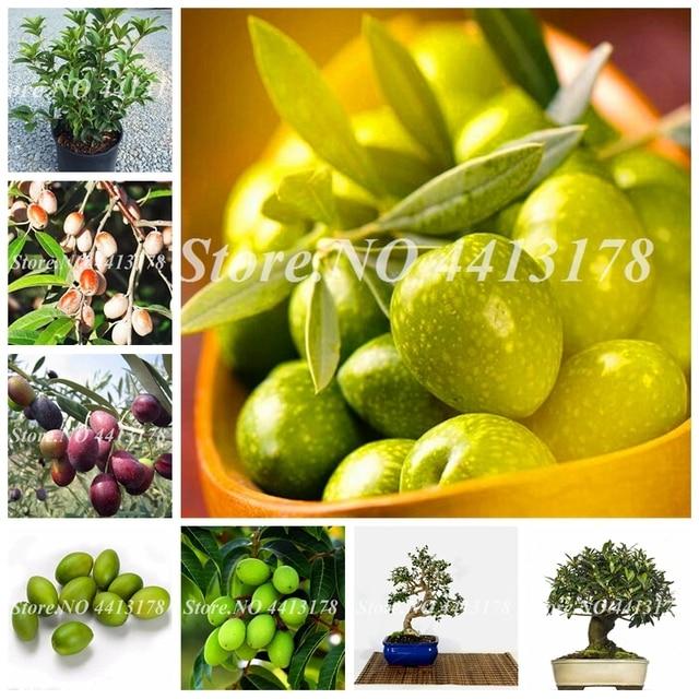10 pçs/saco Chinês Plantio Bonsai de Frutas Comestíveis Azeitonas Verdes Planta Fazenda Casa Pote Jardim fácil de Árvore Para A Primavera crescer