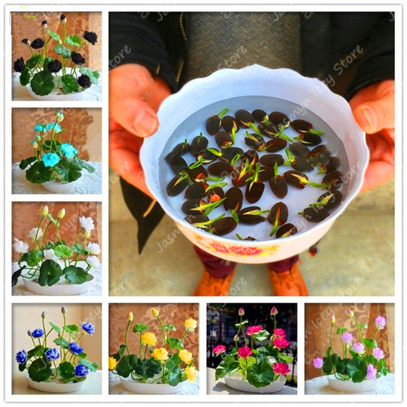 5 Pcs/Bag 100% Real Bowl Lotus Flower Bonsai Plants 8 Colors Beautiful Water Lily Semilla Potted Aquatic Plants for Home Garden
