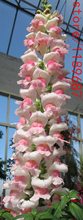 100pcs Snapdragon (Anthirrhinum majus)seeds,snapdragon flower seeds,bonsai flower seeds,10 colours potted plants for home garden