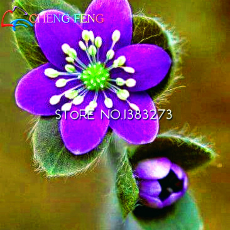 100pcs Rare Purple Hepatica Seeds Beautiful Flower Indoor Bonsai Pot Mini Plants Decoration Easy Grow Red Rose Gift Free Ship