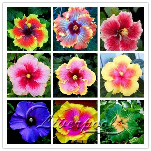 20 Giant Hibiscus Flower Seeds Hardy Look Good Year Round