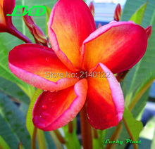 7-15inch Rooted Plumeria Plant Thailand Rare Real Frangipani Plants no36-bl004