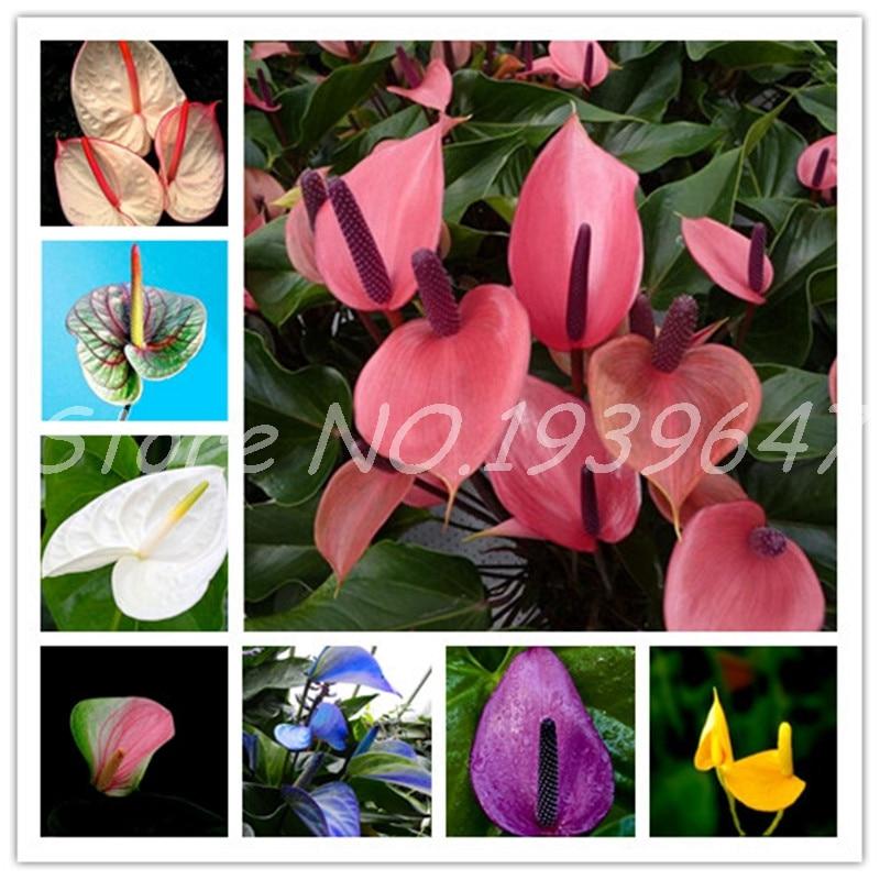 100PCS Mix Rare Flower Anthurium Bonsai Balcony Potted Plant Anthurium Flower