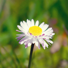100 daisy seeds Livingstone Daisy Seeds yellow white flower seed variety complete the budding rate 95%  Potted Perennials Plants
