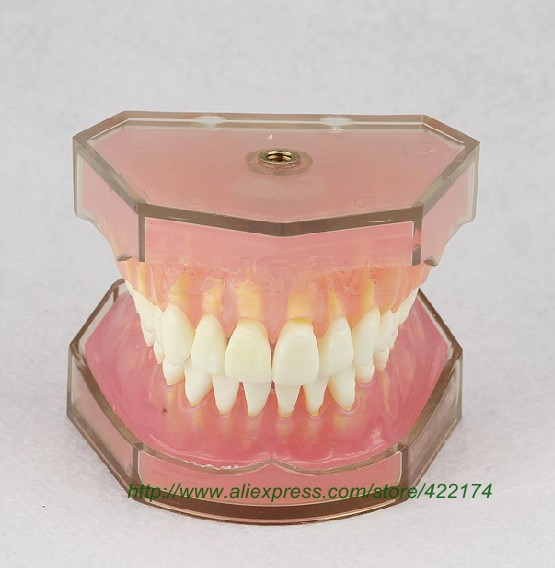 Free Shipping Standard model (removable) dental tooth teeth anatomical anatomy model odontologia 1 pcs dental standard teeth model teach study