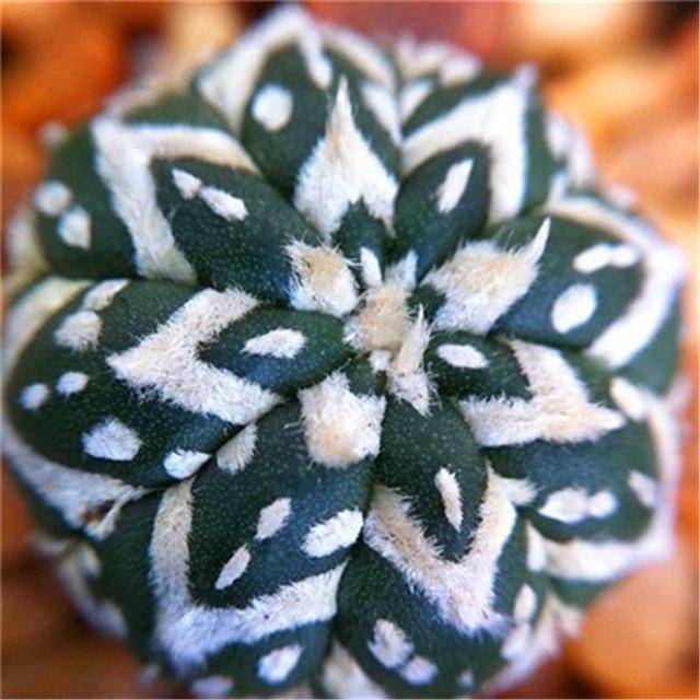 200 Pcs Rare Living Stones Mix Lithops bonsai Blooming Flower Succulent Cactus Organic Garden Bulk bonsai For Home Garden