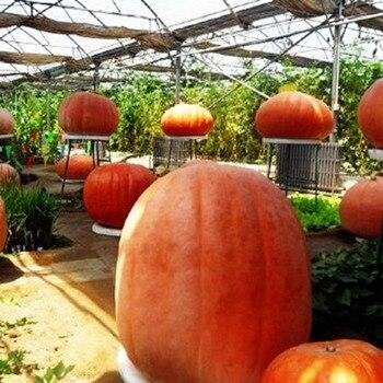 Hot Sell 5 PcsSet Giant Pumpkin Seeding Cushaw Moschata Organic Vegetables Seedsplants Garden Planters Farm Plants VC