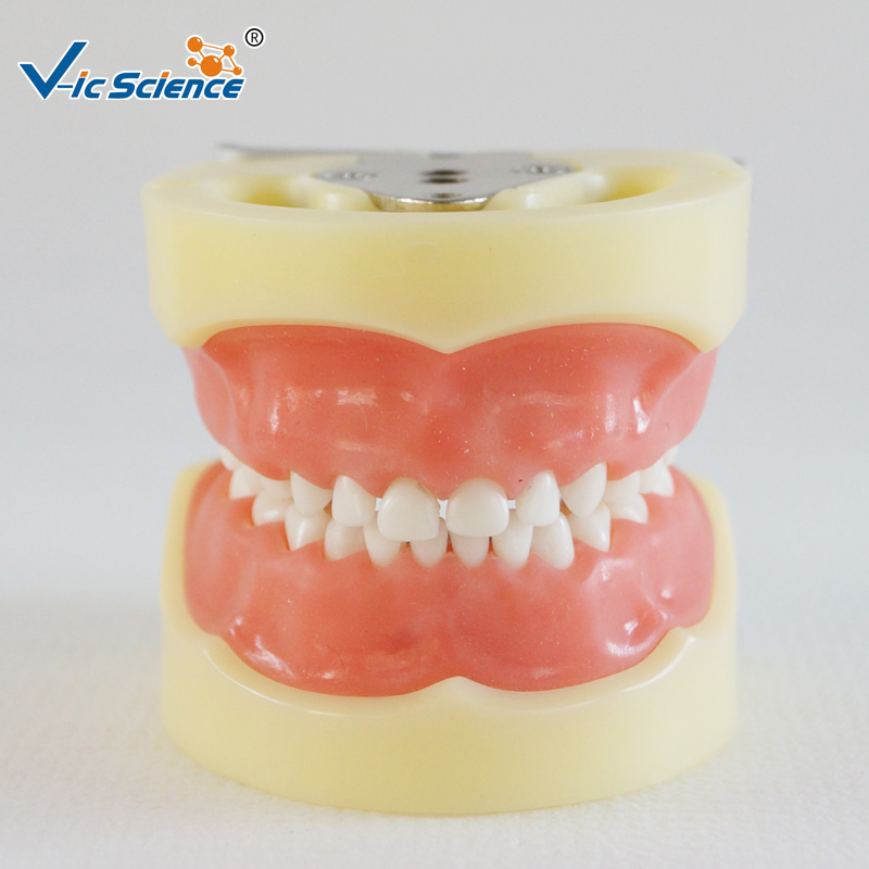 Standard Child Model with 24pcs teeth and Soft Gum)Standard Child Model with 24pcs teeth and Soft Gum)