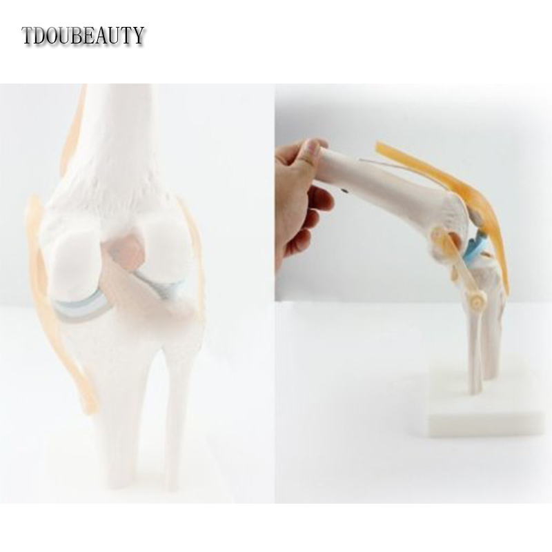 Menschliches 1:1 Größe Kniegelenk Simulation Modell Medizinische ...