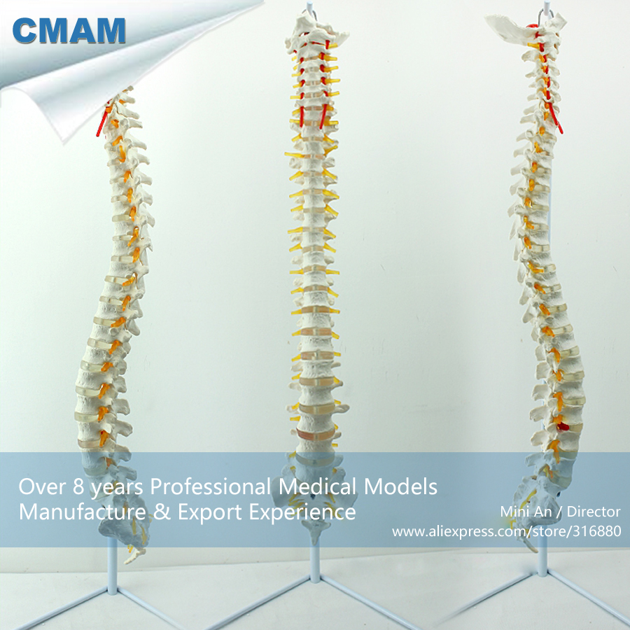 CMAM-SPINE01 Human Life Size Classic Spine Model with Stand ,  Medical Science Educational Teaching Anatomical Models plastic standing human skeleton life size for horror hunted house halloween decoration