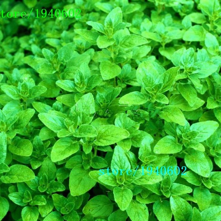 Greek Oregano Seeds Reviews - Online Shopping Greek ...
