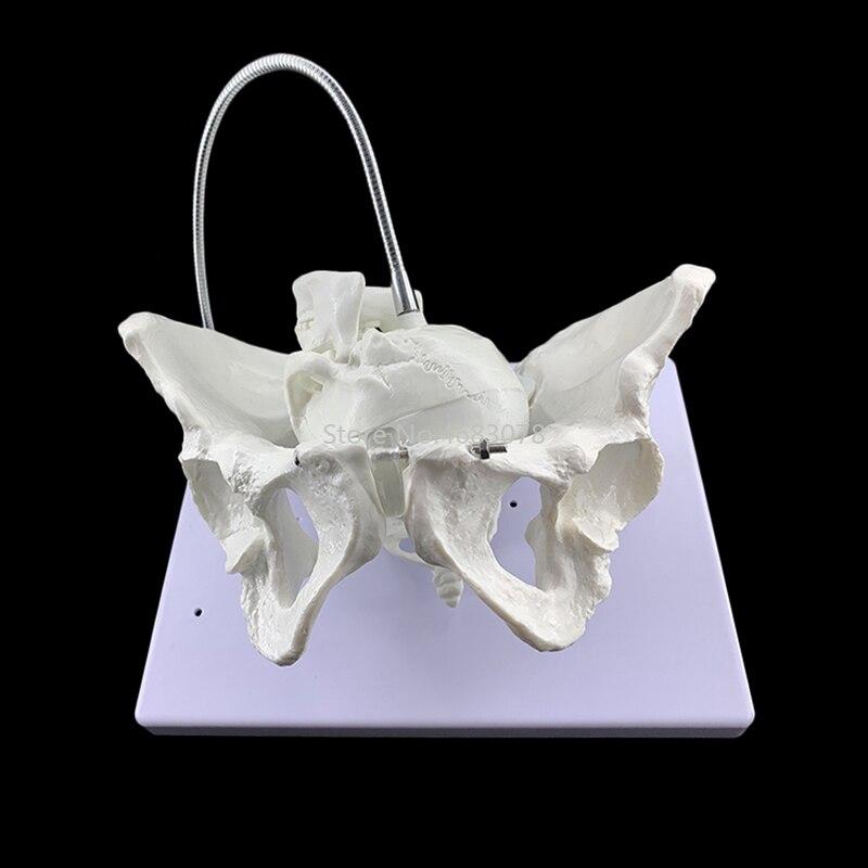 1 1 Female Pelvis Model Midwifery teaching model Female delivery process demonstration Delivery pelvis 29x22x20cm
