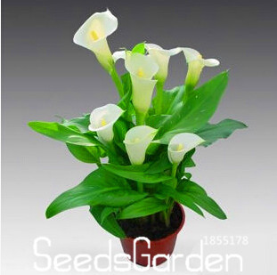 New Arrival!Calla lily Bonsai imported from Holland, calla lily Plantlings - 50 PCS/bag,#QKEPB6