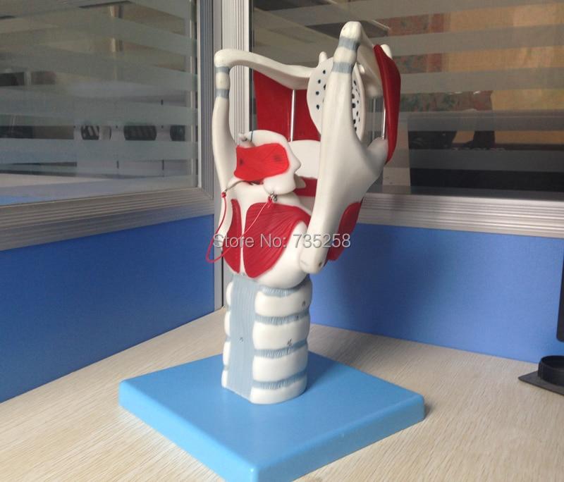 Throat Struktur und Funktion Modell, Kehlkopf knorpel, kehlkopf ...