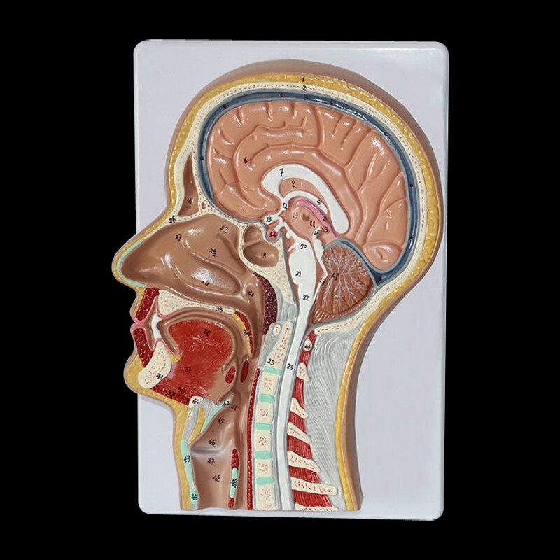 Vida 1:1 tamaño muscular faríngea garganta nariz boca lengua músculo ...