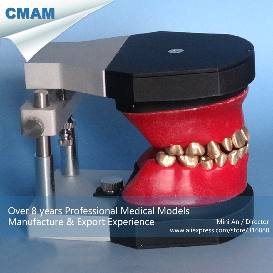 12565 CMAM-DENTAL06 Oral Dental Typodont Model , Medical Science Educational Dental Teaching Models 12569 cmam dental10 cranial nerve model in oral cavity medical science educational dental teaching models