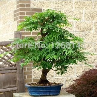 unidslote verdadero japons pequeo bonsai de arce rbol barato semillas de