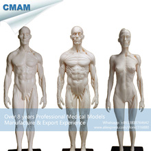 CMAM-PRC22 White 1:6 PU Material Human Male + Female Flesh & Superficial Muscle Model 30cm Human Bone Sculpture