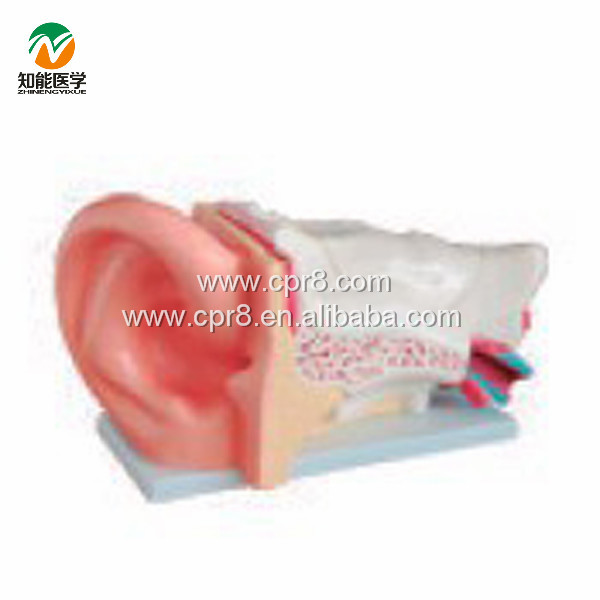 BIX-A1050 Big Ear Anatomy Model MQ165 gastric anatomy model chinon bix a1045 wbw266