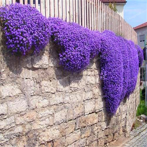 100Pcs/Bag Creeping Thyme Seeds Or Blue ROCK CRESS Seeds - Perennial Ground Cover Flower Natural Growth For Home Garden ...