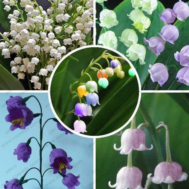 aliexpress  buy lily of the valley flower seeds, bell orchid, Beautiful flower
