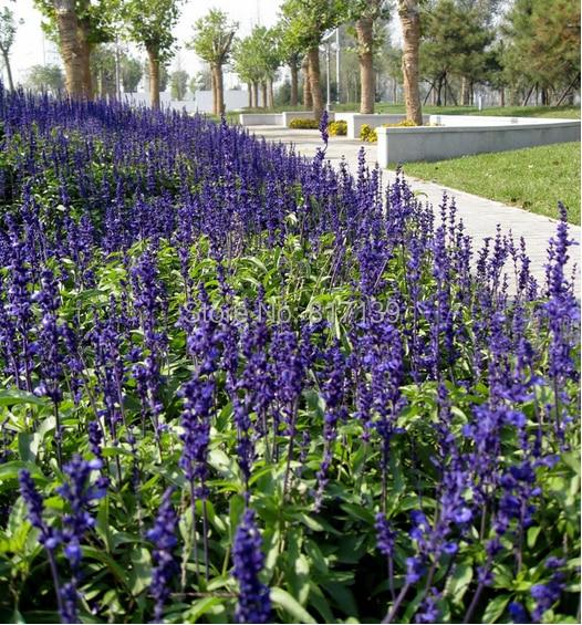 Home Garden Plant 50 Seeds Mealy Sage Dark Blue Sage