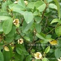 tree bonsai collected flower bonsai smile smiling US banana flower bonsai chapensis plum real shot 200g / Pack