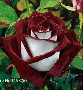 50 Abracadabra Rose seeds,rare color ,Osiria Rose gorgeous flower . the lover rose seed bonsai planting roses.Free Shipping