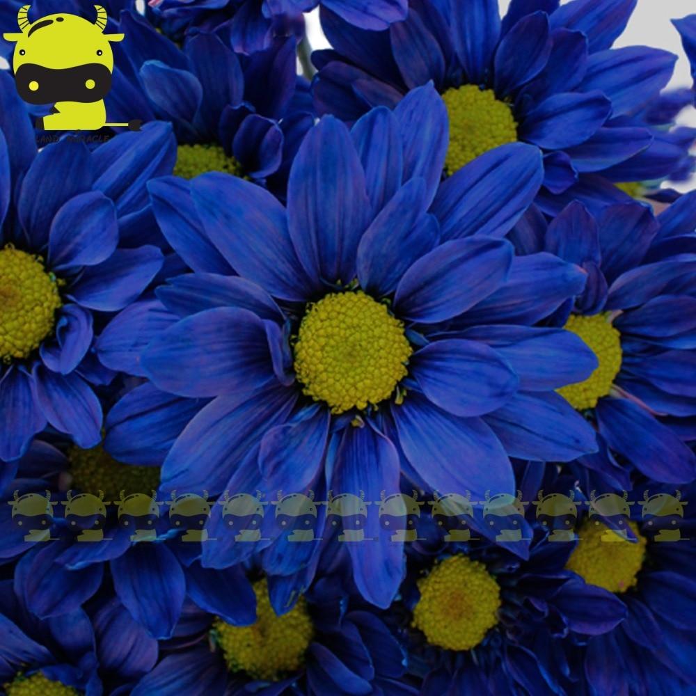 Rare Dark Blue Gazania Daisy Flower Seeds 100 Seedspack Bellis