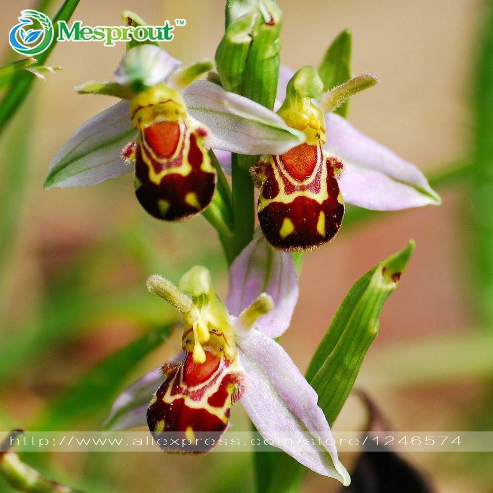 Free Shipping 100 Seeds China Rare Flower Bee Orchid Flower Seed Smile Face Interesting Flowers Seed