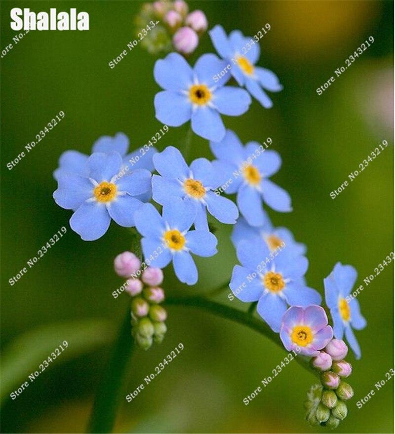 100 шт. Forget Me Not семена природа, свежий цветок Карликовые деревья Семена для дома сад цветочные