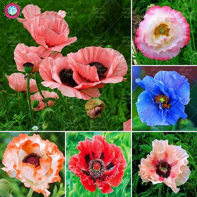 100pcs different colors of oriental poppy plant beautiful bonsai 100pcs different colors of oriental poppy plant beautiful bonsai flower plant garden potted plants courtyard balcony mightylinksfo