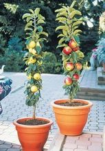 100 pcs Bonsai Apple Tree Seeds rare fruit bonsai tree– red delicious apple seeds garden for flower pot planters