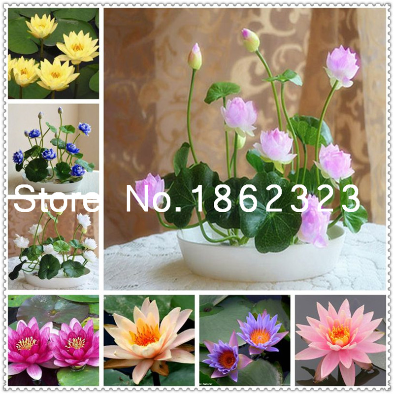 Hot Sale 10 pcs Pink white bowl lotus Bonsai hydroponic plants aquatic plants flower flores pot water lily flower Bonsai Garden