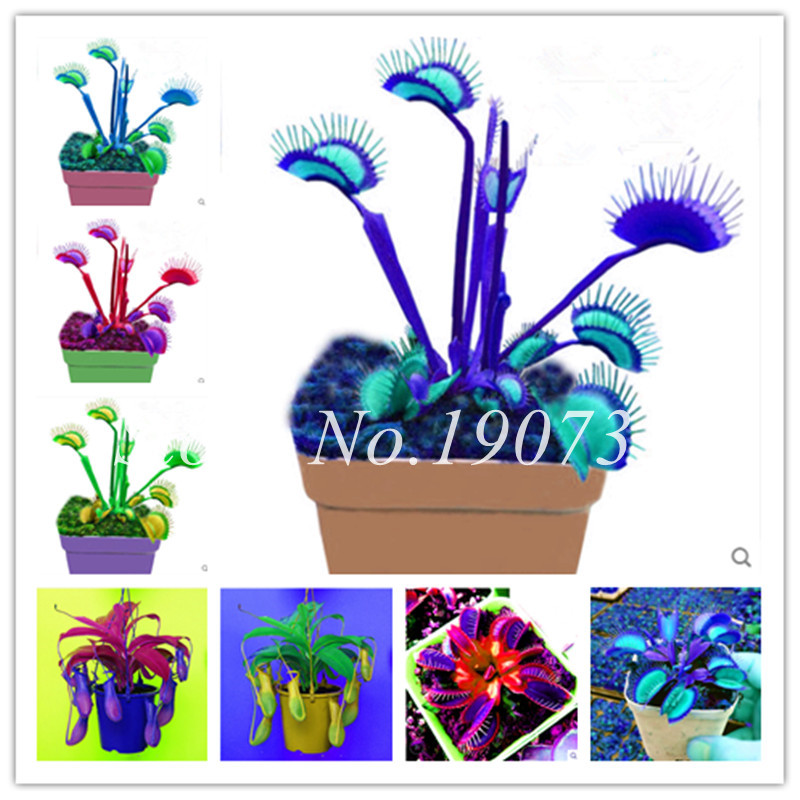 Bonsai 100 Pcs/Bag Rare Flycatcher Potted Mixed Insectivorous Bonsai Plant Dionaea Muscipula Giant Clip Venus Flytrap Free Ship