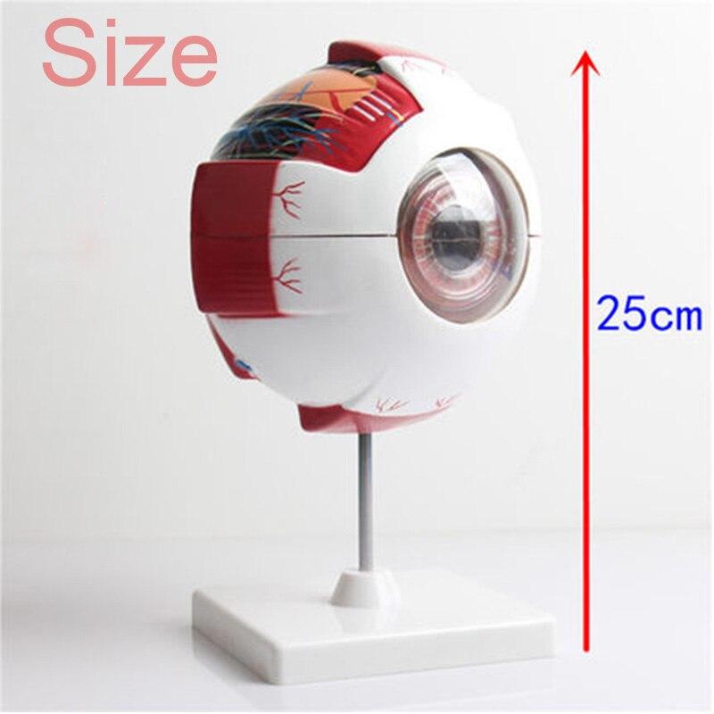 Human Eye Anatomy Model Eyeball internal structure Cornea iris lens ...