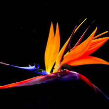 Houseplants Strelitzia Reginae bonsai ออกดอกยาว Bird Of Paradise bonsai 20 ชิ้น/ถุ(China)
