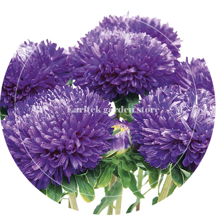 Bellfarm Bonsai Rare Imported Mixed 5 Types Of Aster Flower Purple