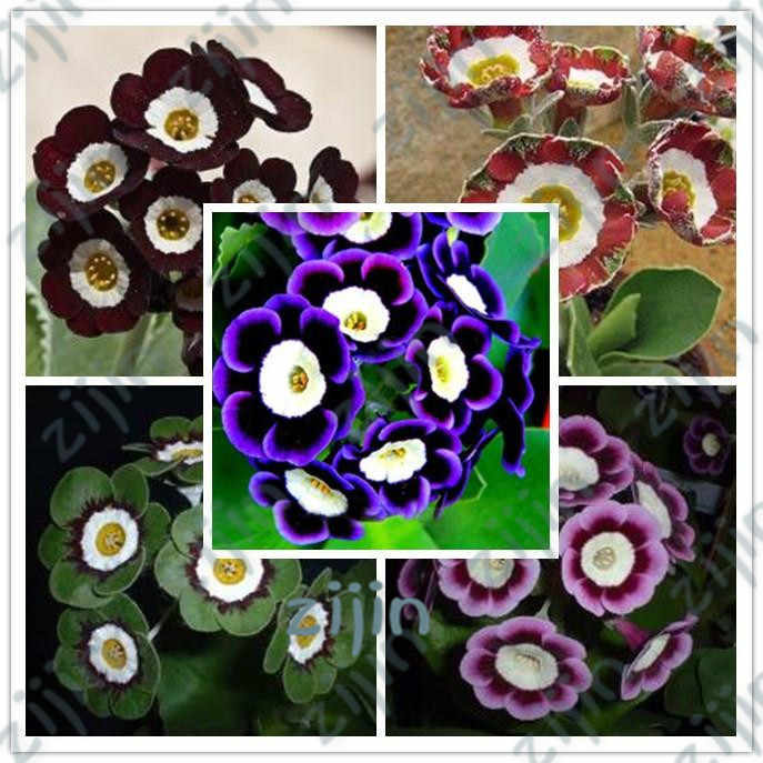 Scarce Rare Phantom Petunia Flower bonsais 100pcs Pack Garden Bonsai Petunia plants for home garden