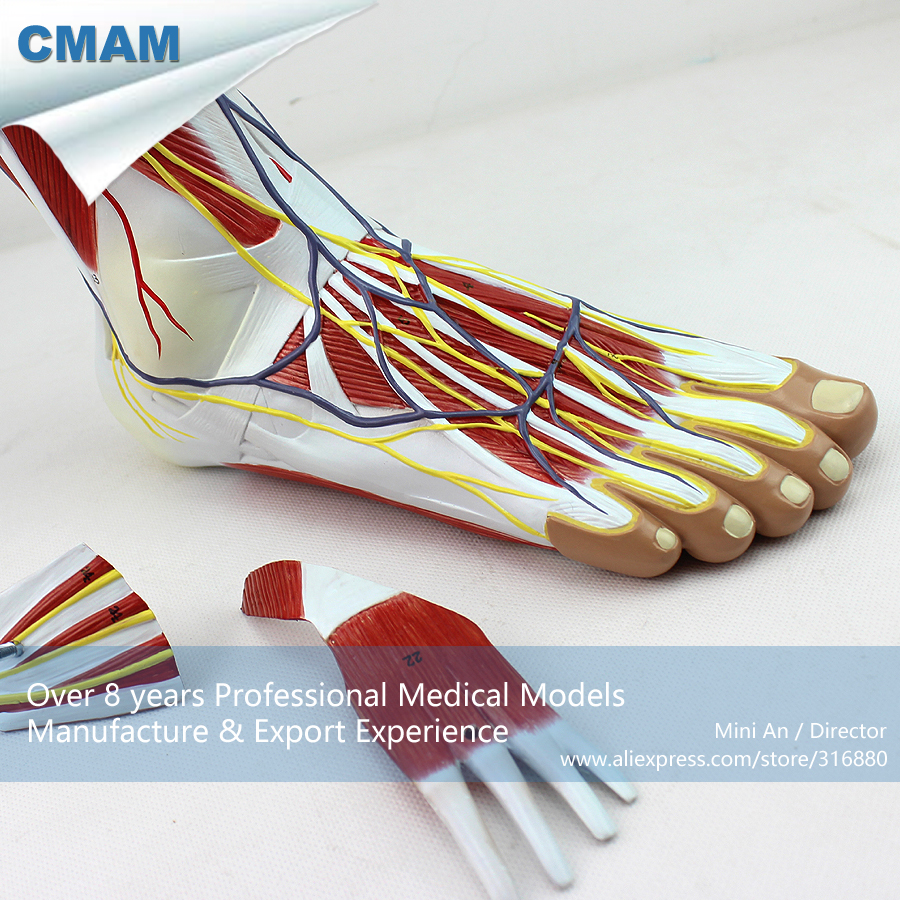 12036 CMAM-MUSCLE12 Life Size Human Model Regional Anatomy of the Foot ,  Medical Science Educational Teaching Anatomical Models 1 2 life size knee joint anatomical model skeleton human medical anatomy for medical science teaching