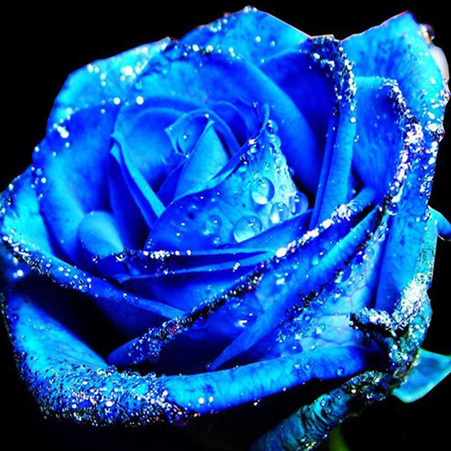 https://ae01.alicdn.com/kf/HTB1e60TIVXXXXc4XpXXq6xXFXXX4/100-samen-pack-Blaue-Rose-Samen-Bonsai-Balkon-Blume-Gro-e-Bl-te-Pflanzen-Stark-Duftenden.jpg_640x640.jpg