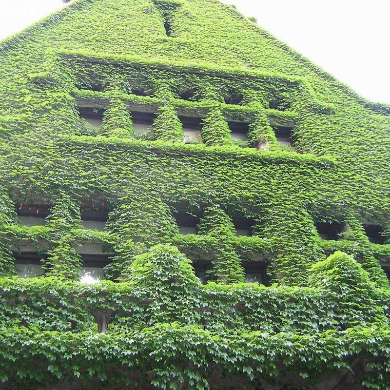100pcs green boston ivy seeds creeper seeds climbing wall plants diy home u0026 garden outdoor decoration - Climbing Plants