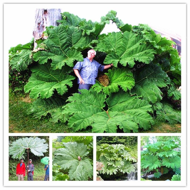 Gunnera Manicata бонсай также называют гигантских ревень бонсай растут в полутени огромный оставляет открытый растений в саду 50 шт./пакет